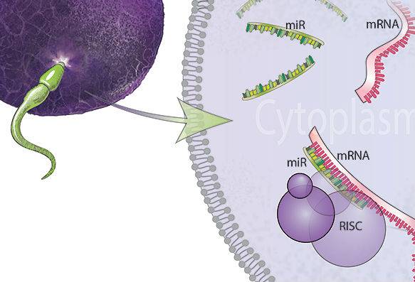 تغییر ژنتیکی اسپرم تحت تاثیرMicroRNAs in sperm target maternal mRNA for destruction to influence offspring development. استرس