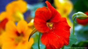 گل لادن
