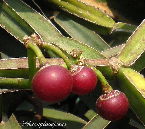 انگور علفزار