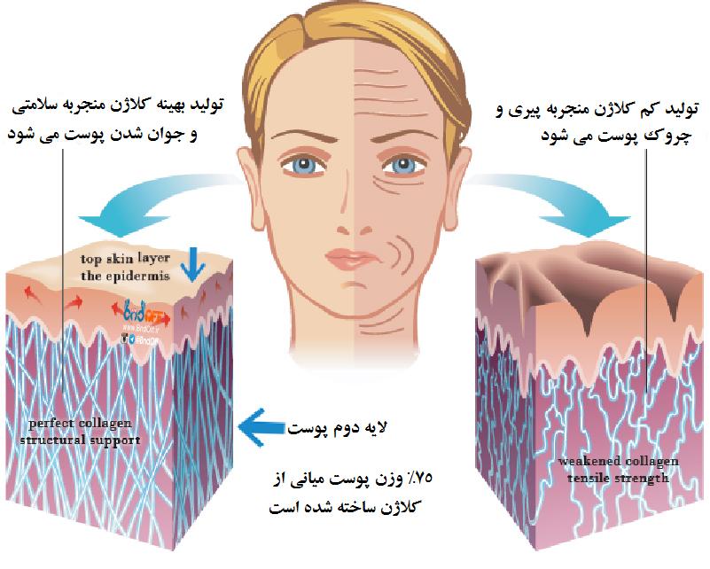 کلاژن چیست و چه فایده ای برای پوست دارد؟ | کلاژن خوراکی | کلاژن سازی پوست | کلاژن طبیعی برای پوست | فروشگاه اینترنتی آرایش سرا