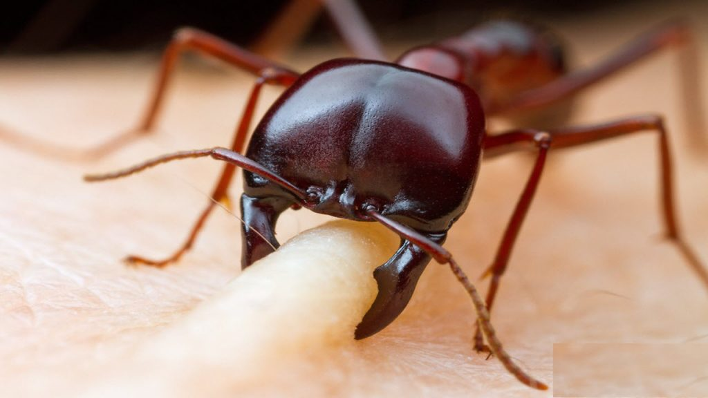 مورچه های جراح