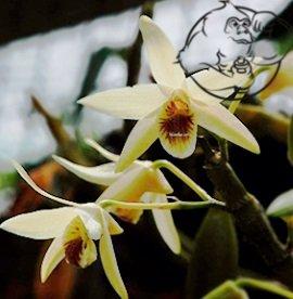 Eria Jarensis